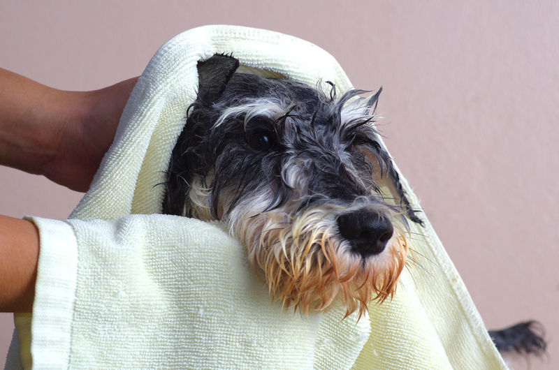 Schnauzer dog Wipe with fabric after bathing by staff pet shop Bath Care Hair Happiness Schnauzer Service Service Animals Animal Clean Cleanliness Dog Domestic Animals Dry Full Grooming Holding Human Hand One Animal Pet Pets Puppy Shop Shower Spa Wet