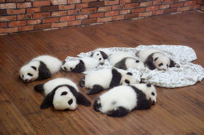 Panda Animal Themes Animals Cute Indoors  No People Panda Panda - Animal Sleeping Sleeping Panda Togetherness White Black