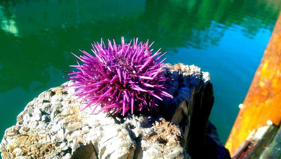 Sea Urchin Purple Sea Urchin Sea Life Ocean Life Pacific Ocean Pacific Northwest  Oceanlife Urchin