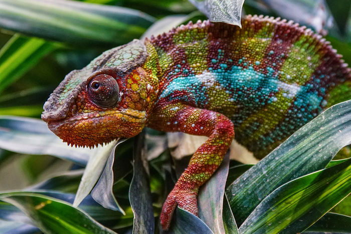 Panther Chameleon (Furcifer pardalis), fauna of Madagascar Biotope Furcifer Pardalis Nature Reptile Species Wild Animal Animal Animal Eye Animal Themes Animal Wildlife Animals In The Wild Biosphere Chameleon Close-up Day Fauna Focus On Foreground Lizard Nature No People One Animal Outdoors Panther Chameleon Reptile Wildlife