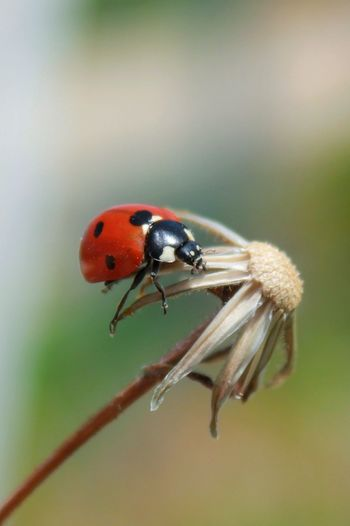 Insect Animal Themes Invertebrate Animal Wildlife Animal Animals In The Wild One Animal Close-up Ladybug Beetle Focus On Foreground Plant Red Macro Outdoors Nature Day No People