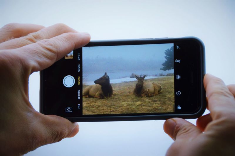 Human Hand Photographing Camera - Photographic Equipment Device Screen Photographer Outdoors Elk Elks Estes Park, CO Colorado Photography Rocky Mountains IPhone Iphone Camera Picture In Picture Mobile Conversations