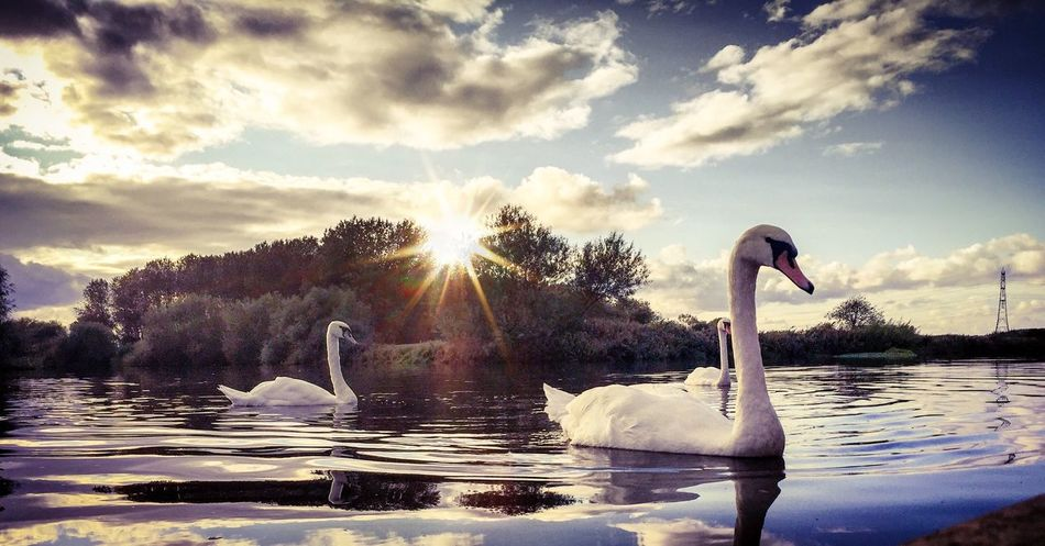 Swan song Canals And Waterways Canal Swan Animals In The Wild Bird Animal Themes Lake Swimming Water Water Bird Animal Wildlife Nature Waterfront Beauty In Nature Cloud - Sky Floating On Water Outdoors No People Sky