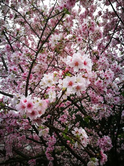 cherry blossom #tianyuan temple