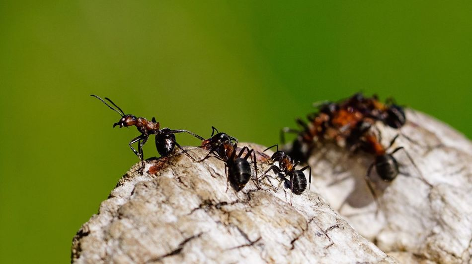 all for me 🐜🐜🐜 Redwoodant Insects  Insect Photography Animals Animals In The Wild Nature_collection Macro Photography Macro_collection EyeEm Gallery Nature Wildlife & Nature Macro Wildlife Ants EyeEm Nature Lover Photooftheday Insect