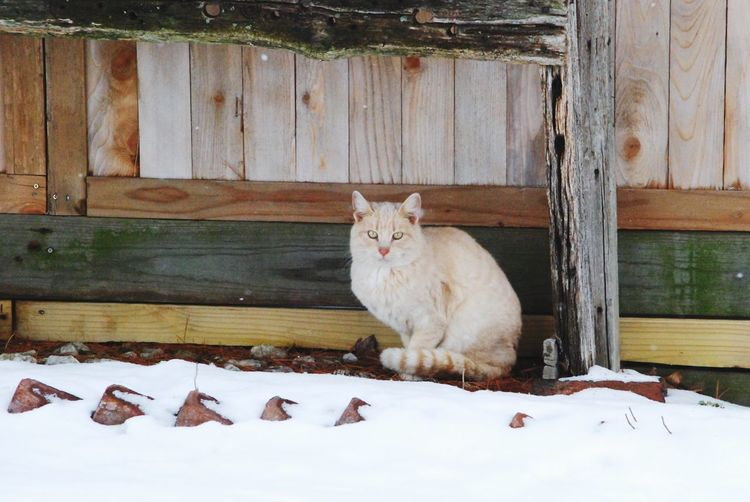Found a dry spot. Rural Life Weathered Wooden Boards Cute Cat 😻 Nikon Snowy Scene Midwest Winters Country Living Farm Life Cat♡ One Animal Mammal Domestic Animals Shades Of Winter Feline Wood - Material No People Portrait Sitting Day Outdoors Looking At Camera Nature