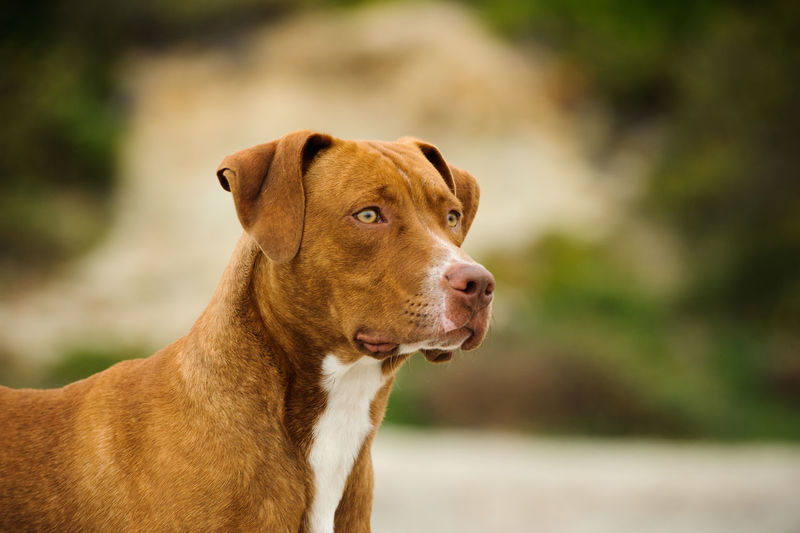 Close-up of brown dog looking away