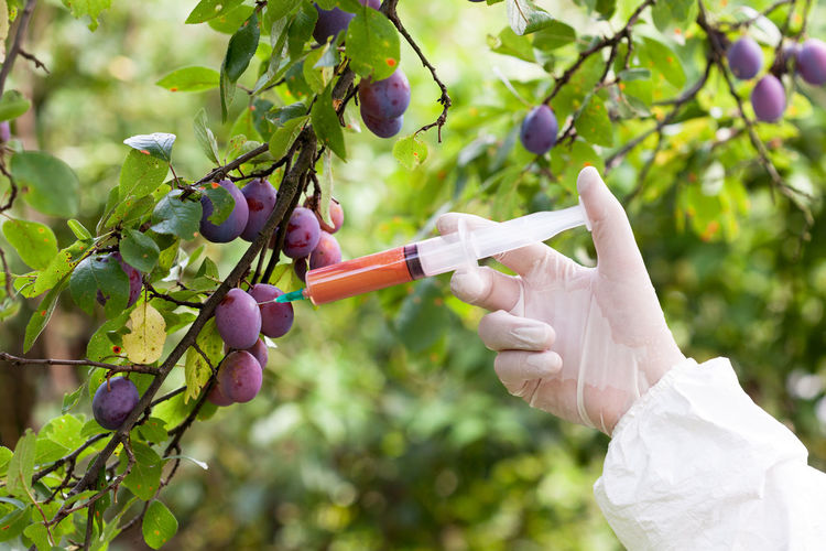 Fruits treated with artificial color containing toxins. Biological warfare Agriculture Bio GMO Science Toxin Additive Biological Engineering Biological Warfare Biotechnology Chemical Chemistry Color Food Safety Fruit Fruit Growing Fruits Gloves Health Health Risk Injecting Manipulation Plum Plums On The Tree Toxic Toxic Substance