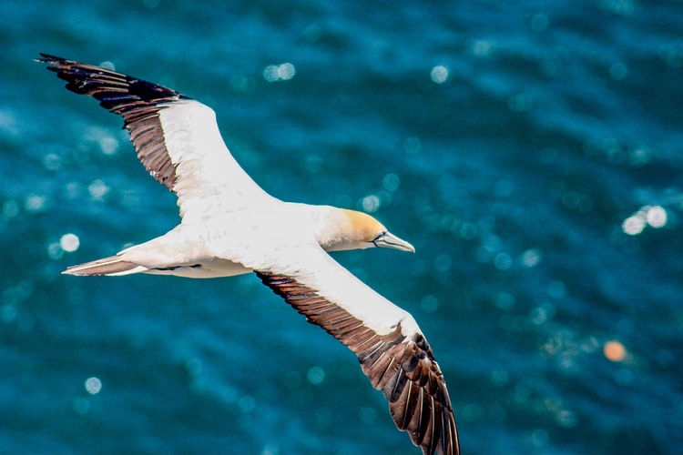 Animals In The Wild Animal Wildlife Animal Themes Animal Vertebrate Bird Flying One Animal Spread Wings Water Sea Mid-air Focus On Foreground Seagull Nature No People Motion Beauty In Nature Day Outdoors Beak Marine Gannet