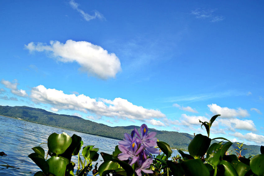 EyeEmNewHere Timah Tasoh Lake, Perlis, Malaysia Beauty In Nature Blue Close-up Cloud - Sky Day Flower Flower Head Fragility Freshness Growth Leaf Nature No People Outdoors Plant Scenics Sky Tranquility Water