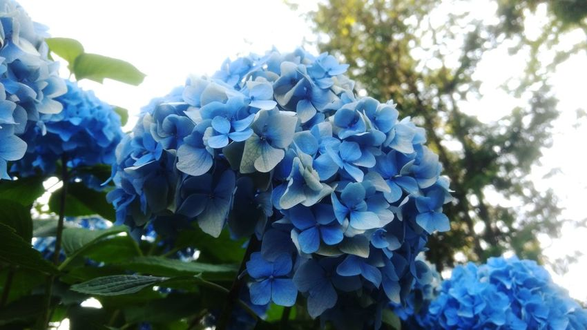 EyeEm Best Shots EyeEm Selects Nature Natural Beauty Natures Beauty Light Sun Flower Blue Tree Hydrangea Flower Head Close-up Sky Plant Hyacinth Bird Of Paradise - Plant Bunch Of Flowers In Bloom Blooming Plant Life Botany Blossom Petal