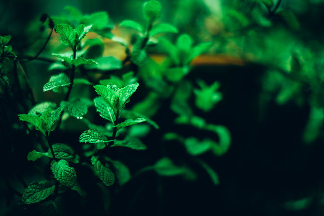 Peppermint Beauty In Nature Close-up Copy Space Focus On Foreground Fragility Freshness Green Color Growth Herb Herbal Plant Home Gardening Leaf Matte Medicine Natural Nature No People Organic Plants Outdoors Peppermint Plant Potted Plant Tea Water Ingredient