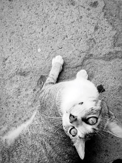 Picoftheday Cats Of EyeEm Looking At Camera View From Above High Angle View Animals Posing Light And Shadow Blackandwhite Outdoors