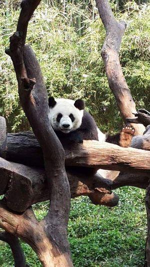 One Animal Tree Bear Mammal Panda - Animal Tree Trunk Animal Themes Giant Panda Nature No People Outdoors Day PANDA ♡♡ Pandashots Panda Safaripark Chimelong Animalphotography