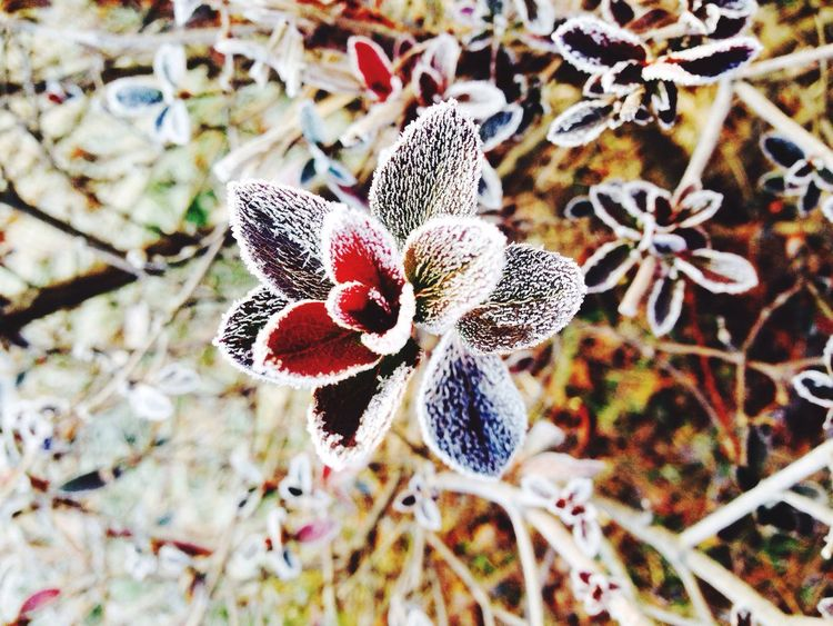 Icy flower. Ice Wintergarden Wintergraphy Frost Frosty Mornings Frosty Leaves Frozen IPhoneography Capture The Moment