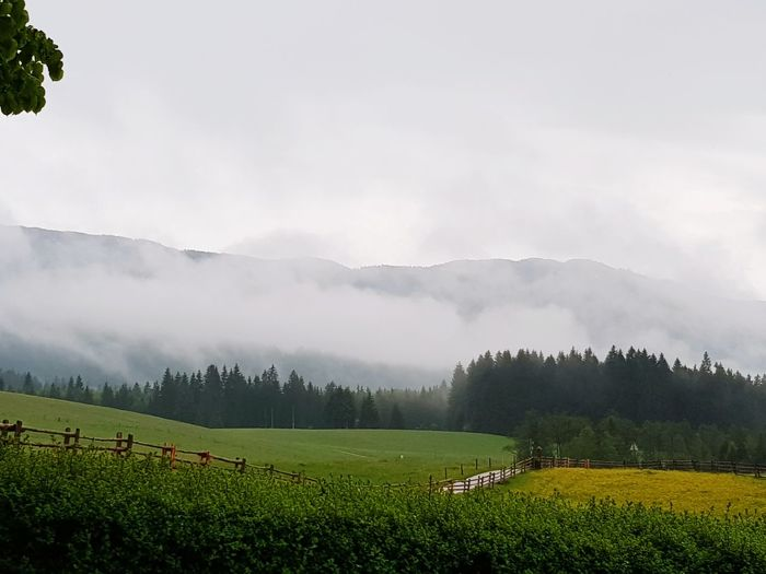 Foggy Tree Tea