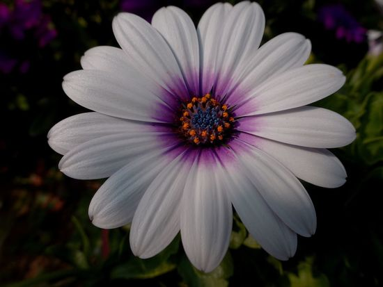 A new day Flower Head Flower Eastern Purple Coneflower Osteospermum Purple Pink Color Petal Close-up Plant