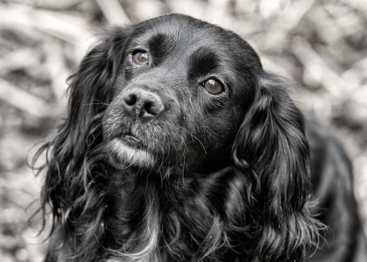 Black And White Photography Black Color Cocker Spaniel  Dog Dog Photography Dog Portrait Outdoors Portrait