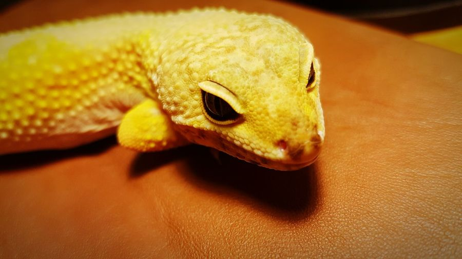 My Leopard Gecko enjoying so time out of the cage. Eyeemphoto Leopard Gecko Love Exploring New Ground Out Of The Cage Pets Reptiles Lizard Nature Orange Morph