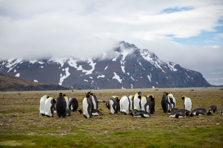 Penguins on field against snowcapped mountain