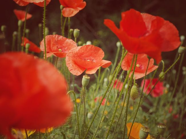 Olympus Poland Beauty In Nature Close-up Field Flower Flower Head Flowering Plant Fragility Freshness Growth Inflorescence Land Nature No People Outdoors Petal Plant Plant Stem Poppy Purity Red Selective Focus Spring Vulnerability
