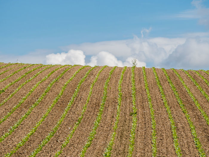 Sugar beet field Agriculture Landscape Field Sky Land Rural Scene Environment Farm Beauty In Nature Growth Scenics - Nature Cloud - Sky Tranquil Scene Tranquility Nature Plant Day No People Crop  In A Row Outdoors Plantation Cornfieldandclouds Sugar Beet