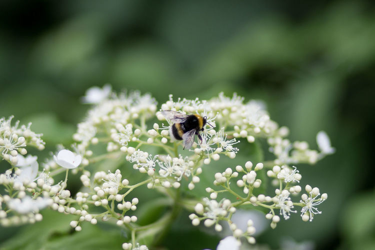 Animals In The Wild Beauty In Nature Bee Bumble Bee Climbing Hortensia Close-up Day Flower Flower Head Fragility Freshness Growth Hortensia Insect Nature No People Outdoors Plant Pollination