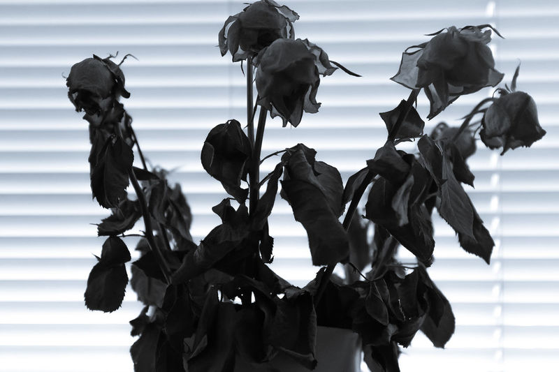 Close-up of dried roses against window blinds