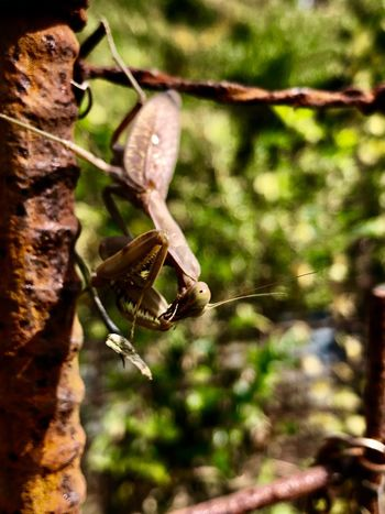 A Mantis Perching Downwards on a Reinforcing Steel Bar. (181107-181201) Animals In The Wild Animal Wildlife Invertebrate Insect Animal Animal Themes One Animal Nature Plant Tree Sunlight Day Outdoors No People Close-up Selective Focus Focus On Foreground