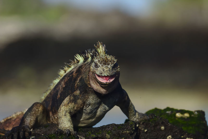 Close-up of an aggressive marine iguana