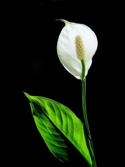 White sail Love Green White Black Spatifilus Spatiphalium Sail White Sail White Flower Flower Nikon Flowers Flower Collection Flowers,Plants & Garden EyeEm Nature Lover