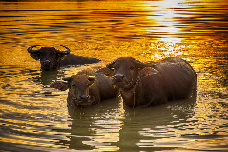 View of cattle swimming in river