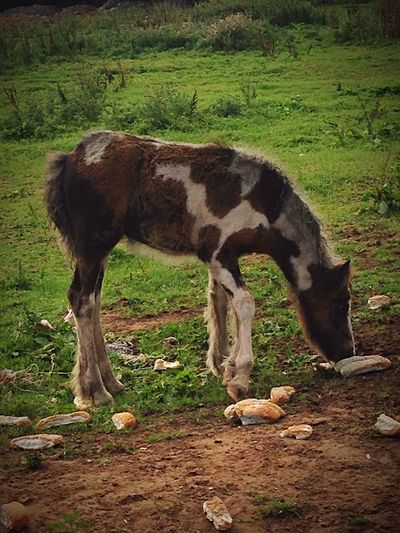 Animal Themes Horse Grazing One Animal Side View Full Length Hoofed Mammal Mammal Foal