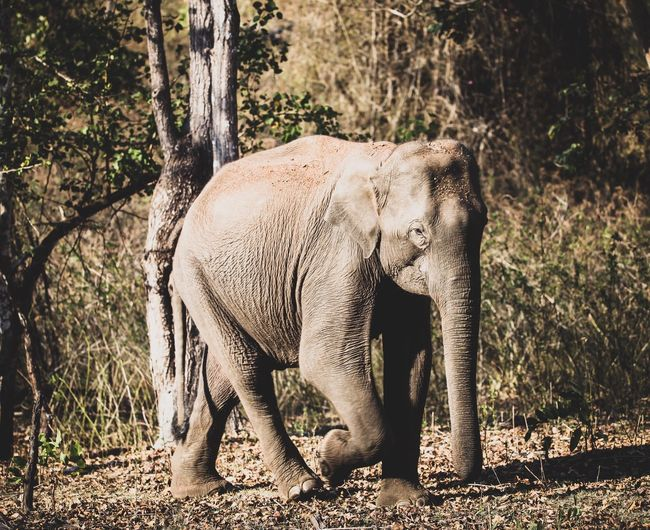 A gaint walk in the jungle . Safari Animals EyeEm Gallery EyeEm Selects Elephant Animals In The Wild Animal Wildlife One Animal Mammal Safari Animals No People Nature Animal Themes Outdoors Tree Tusk Full Length Close-up