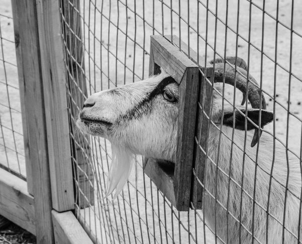 Animal Pen Animal Themes Close-up Domestic Animals Goat Goats Mammal One Animal Petting Zoo