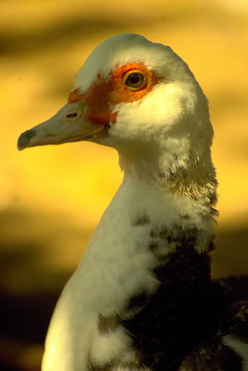 Liesel Profile View Bird Animal Themes Animal One Animal Vertebrate Animals In The Wild Animal Wildlife Close-up Focus On Foreground Beak Animal Body Part No People Nature Animal Head  Day Side View Poultry Yellow Outdoors Duck Animal Neck Animal Eye Duck Liesel Ducks Duckhead