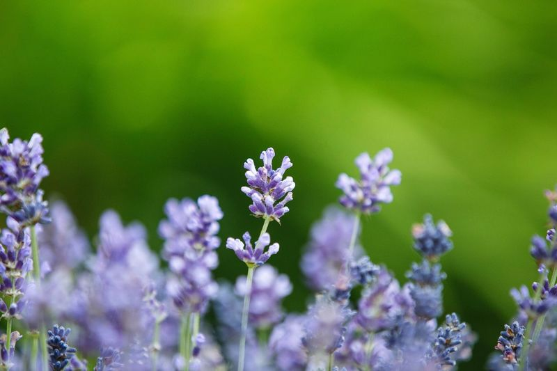 Flower Nature Beauty In Nature Green Background Lavender Plant Lilac Colour Focus On Foreground Day No People Growth Fragility Blooming Flower Head Close-up Freshness Outdoors Wild Nature Gillian McBain Photographer Canon Flowers Spring Garden Spring Gardening