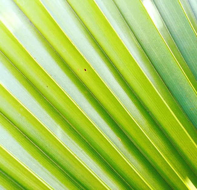 Nature's Lines Abstract Nature Tropical Plant Detail Nature's Green Beauty In Nature Pattern Tropical Beauty Vivid Bright Texture Background Natures Design Natures Textures Nature_collection Tropical Plants Leaves Green Abstract Closeup Plant Tropical Angles And Lines