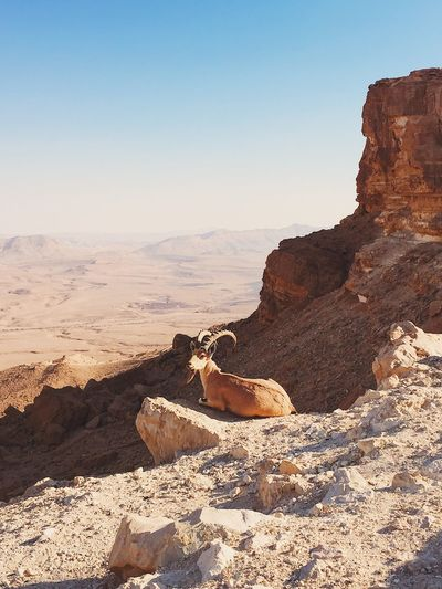 EyeEmNewHere Israel Nature Desert Wildlife Animal Animal Themes Travel Tranquility Beauty In Nature Gold Colored Looking At Camera