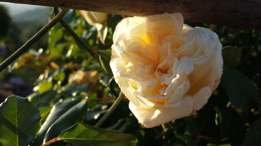 may rose... May