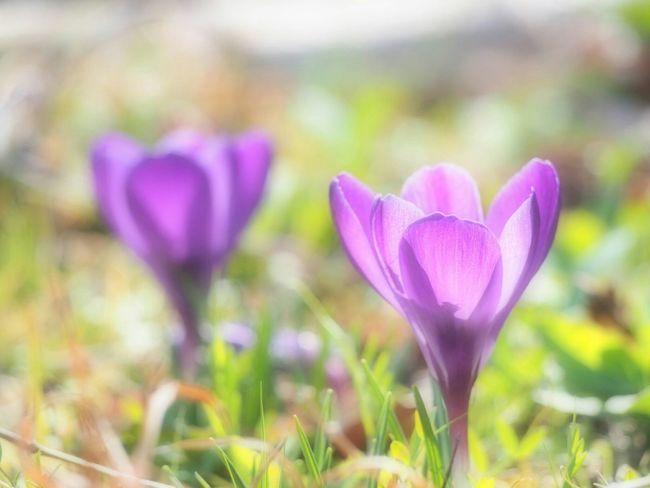 クロッカスの花びらが日差しに照らされふんわり透けて、妖精たちの春色のスカートのよう… クロッカス Spring Flower Natural Flower Collection EyeEm Nature Lover EyeEm Best Shots EyeEm Gallery