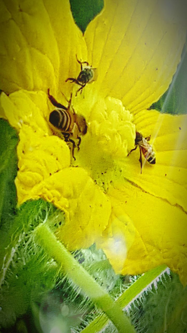 insect, flower, animal themes, animals in the wild, yellow, bee, fragility, petal, nature, wildlife, one animal, freshness, no people, outdoors, beauty in nature, day, plant, growth, honey bee, close-up, animal wildlife, flower head, buzzing, pollination