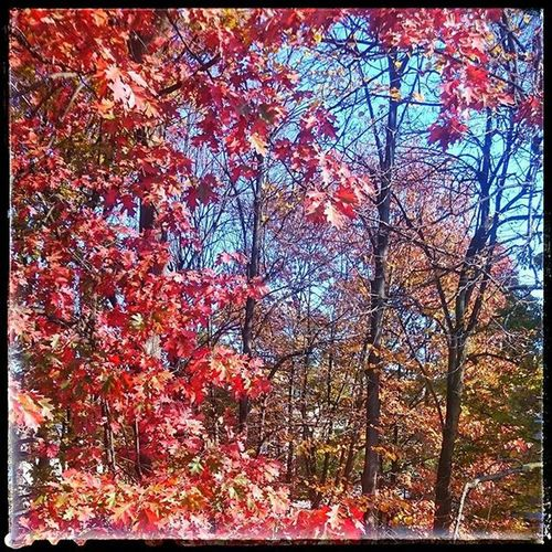 AUTUNNO. Foliage Picoffoliage Instafoliage Foliageoftheday Autunno  Autumnweather Autumncolours Autumnleaves Picofautumn Insta_foliage Picofthedays Trees Instagood Red Nature Naturelovers