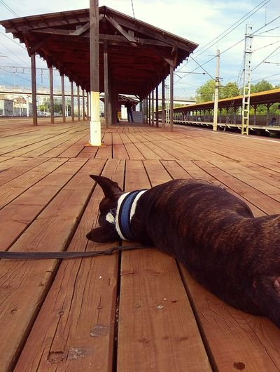 Dog lying down on wooden floor