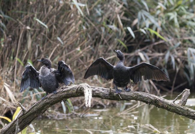 European shag Birdwatching Cormorant  Phalacrocorax Phalacrocorax Aristotelis Aristotelis Bird Black Black Bird Common Shag Cormorants European Shag Sea Bird Shag