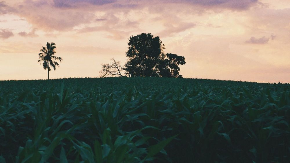 Tree Cereal Plant Rural Scene Sunset Agriculture Wheat Corn Field Crop  Farm