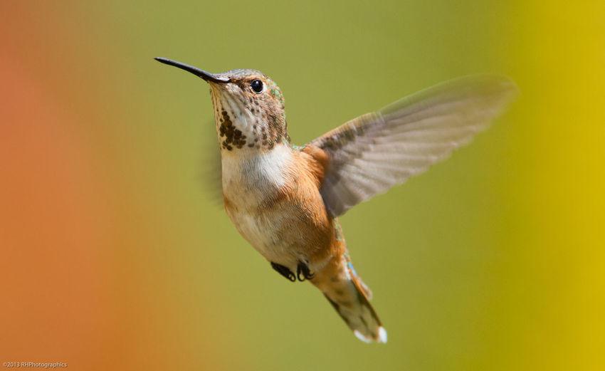 Allen Hummingbird Flying Outdoors
