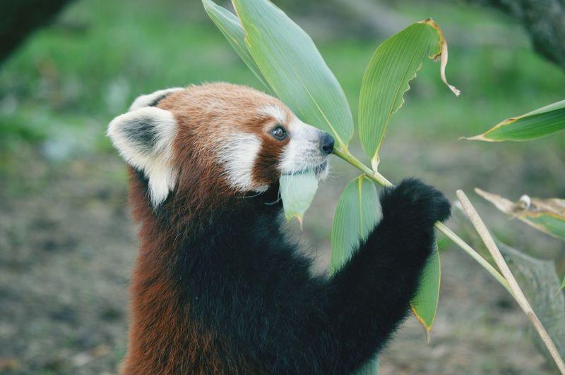 Red Panda at Whipsnade Zoo, England, UK. Panda One Animal Animal Wildlife Mammal Red Panda