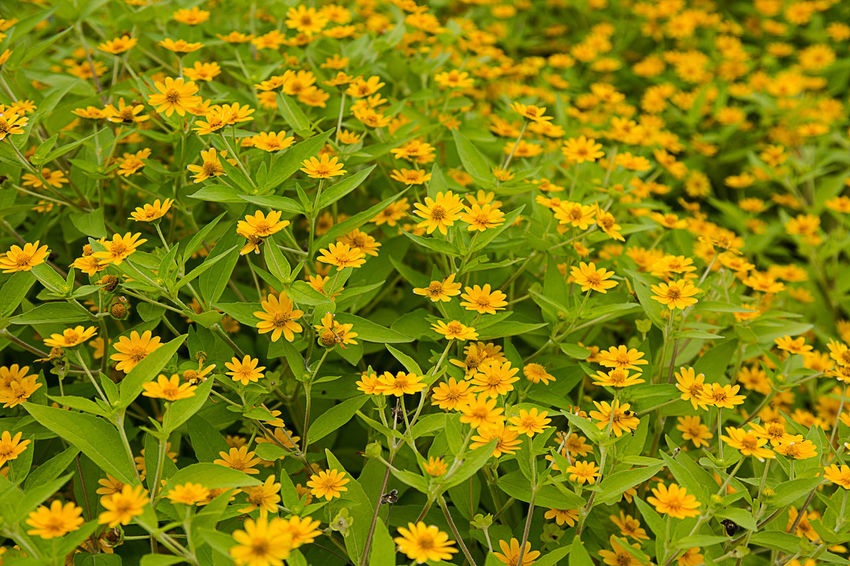 yellower flowers EyeEm Nature Lover Beauty In Nature Close-up Day Field Flower Flower Head Flowering Plant Fragility Freshness Full Frame Green Color Growth Land Leaf Nature No People Outdoors Plant Plant Part Vulnerability  Yellow