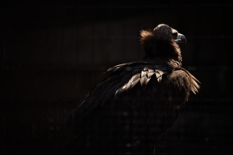 Close-up of vulture at zoo